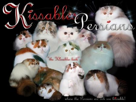Kissables Bicolor Persians