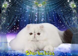 The Cattery of Persian Cats «Starbabies»